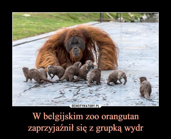 W belgijskim zoo orangutanzaprzyjaźnił się z grupką wydr –