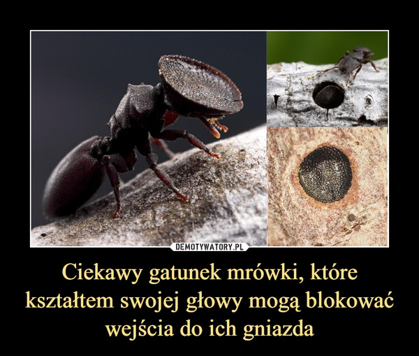 Ciekawy gatunek mrówki, które kształtem swojej głowy mogą blokować wejścia do ich gniazda