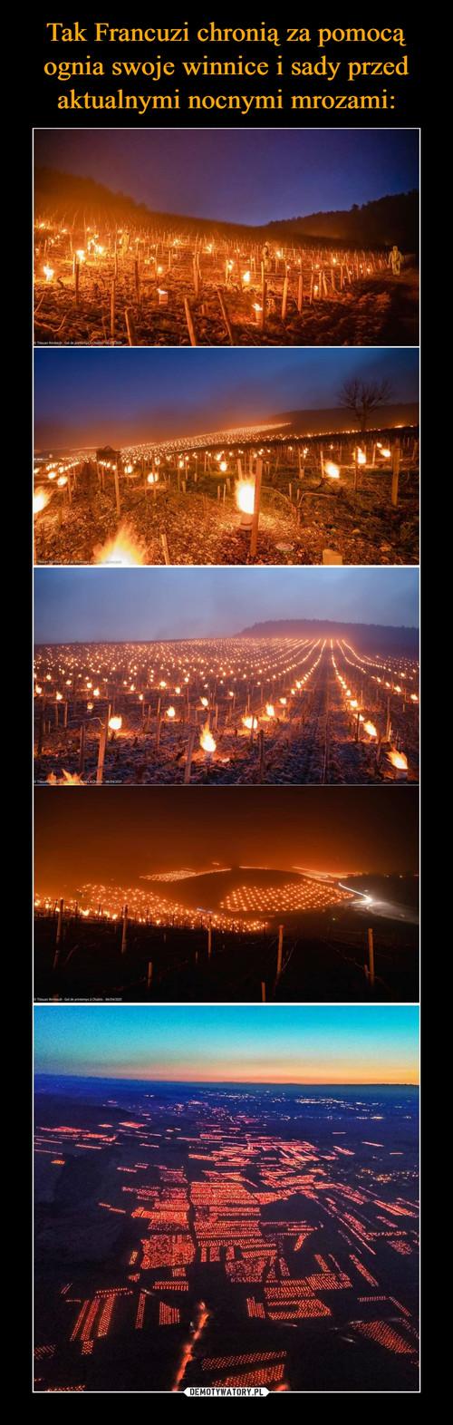 Tak Francuzi chronią za pomocą ognia swoje winnice i sady przed aktualnymi nocnymi mrozami: