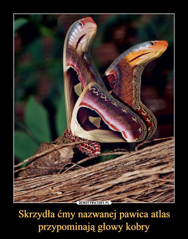 Skrzydła ćmy nazwanej pawica atlas przypominają głowy kobry –