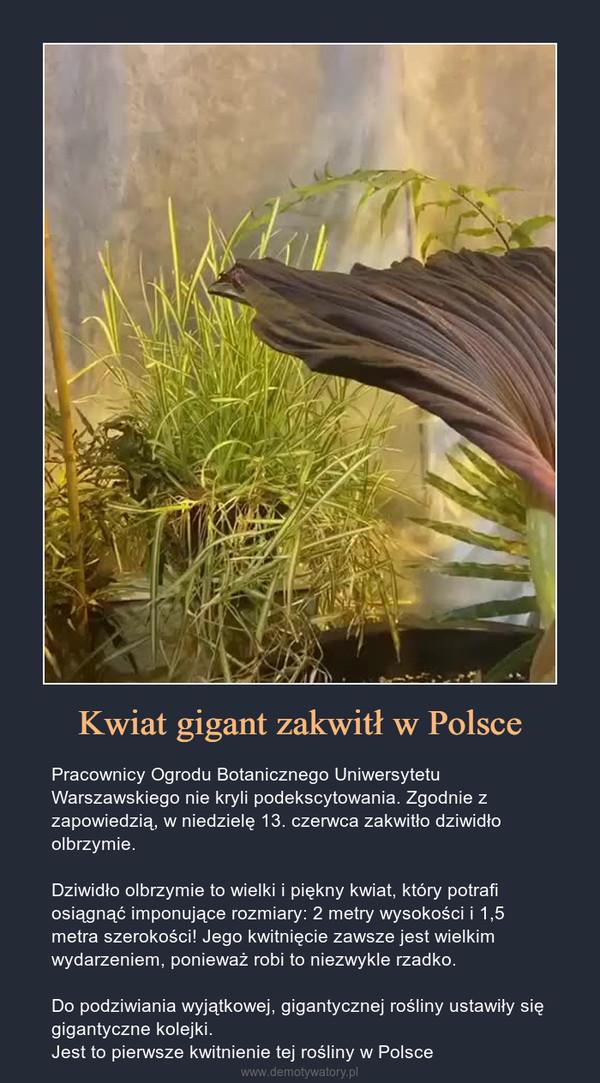 Kwiat gigant zakwitł w Polsce – Pracownicy Ogrodu Botanicznego Uniwersytetu Warszawskiego nie kryli podekscytowania. Zgodnie z zapowiedzią, w niedzielę 13. czerwca zakwitło dziwidło olbrzymie.Dziwidło olbrzymie to wielki i piękny kwiat, który potrafi osiągnąć imponujące rozmiary: 2 metry wysokości i 1,5 metra szerokości! Jego kwitnięcie zawsze jest wielkim wydarzeniem, ponieważ robi to niezwykle rzadko.Do podziwiania wyjątkowej, gigantycznej rośliny ustawiły się gigantyczne kolejki.Jest to pierwsze kwitnienie tej rośliny w Polsce