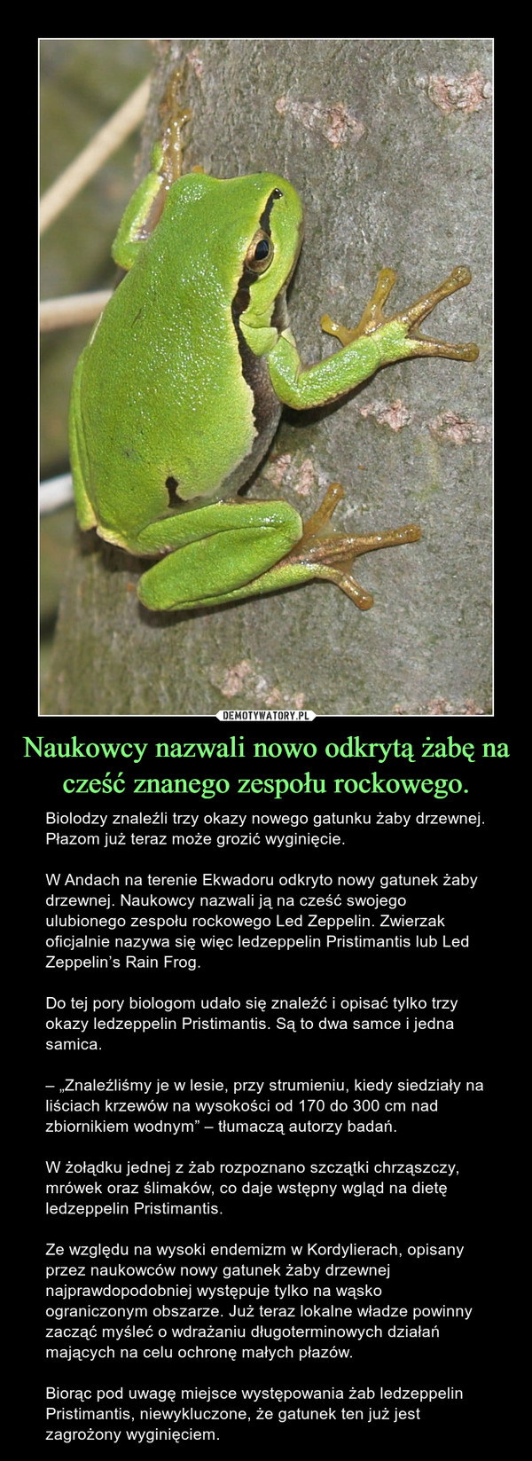 """Naukowcy nazwali nowo odkrytą żabę na cześć znanego zespołu rockowego. – Biolodzy znaleźli trzy okazy nowego gatunku żaby drzewnej. Płazom już teraz może grozić wyginięcie.W Andach na terenie Ekwadoru odkryto nowy gatunek żaby drzewnej. Naukowcy nazwali ją na cześć swojego ulubionego zespołu rockowego Led Zeppelin. Zwierzak oficjalnie nazywa się więc ledzeppelin Pristimantis lub Led Zeppelin's Rain Frog.Do tej pory biologom udało się znaleźć i opisać tylko trzy okazy ledzeppelin Pristimantis. Są to dwa samce i jedna samica.– """"Znaleźliśmy je w lesie, przy strumieniu, kiedy siedziały na liściach krzewów na wysokości od 170 do 300 cm nad zbiornikiem wodnym"""" – tłumaczą autorzy badań.W żołądku jednej z żab rozpoznano szczątki chrząszczy, mrówek oraz ślimaków, co daje wstępny wgląd na dietę ledzeppelin Pristimantis.Ze względu na wysoki endemizm w Kordylierach, opisany przez naukowców nowy gatunek żaby drzewnej najprawdopodobniej występuje tylko na wąsko ograniczonym obszarze. Już teraz lokalne władze powinny zacząć myśleć o wdrażaniu długoterminowych działań mających na celu ochronę małych płazów.Biorąc pod uwagę miejsce występowania żab ledzeppelin Pristimantis, niewykluczone, że gatunek ten już jest zagrożony wyginięciem."""