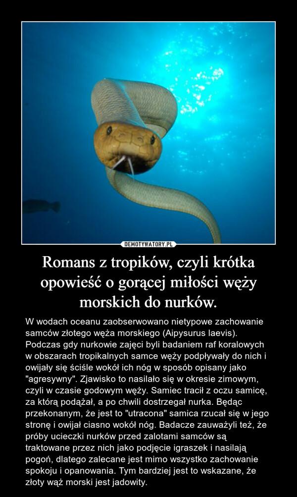 """Romans z tropików, czyli krótka opowieść o gorącej miłości węży morskich do nurków. – W wodach oceanu zaobserwowano nietypowe zachowanie samców złotego węża morskiego (Aipysurus laevis). Podczas gdy nurkowie zajęci byli badaniem raf koralowych w obszarach tropikalnych samce węży podpływały do nich i owijały się ściśle wokół ich nóg w sposób opisany jako """"agresywny"""". Zjawisko to nasilało się w okresie zimowym, czyli w czasie godowym węży. Samiec tracił z oczu samicę, za którą podążał, a po chwili dostrzegał nurka. Będąc przekonanym, że jest to """"utracona"""" samica rzucał się w jego stronę i owijał ciasno wokół nóg. Badacze zauważyli też, że próby ucieczki nurków przed zalotami samców są traktowane przez nich jako podjęcie igraszek i nasilają pogoń, dlatego zalecane jest mimo wszystko zachowanie spokoju i opanowania. Tym bardziej jest to wskazane, że złoty wąż morski jest jadowity."""