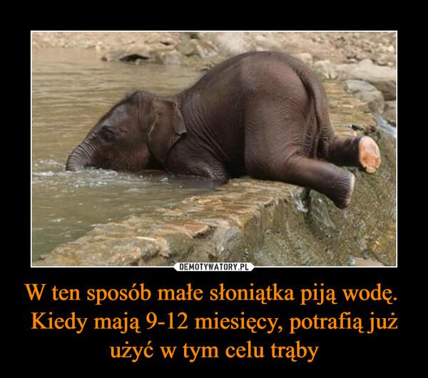 W ten sposób małe słoniątka piją wodę.  Kiedy mają 9-12 miesięcy, potrafią już użyć w tym celu trąby –